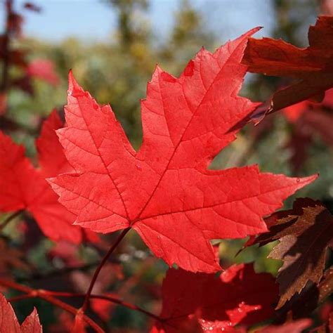 Acer Autumn Blaze - Red Maple Tree   Mail Order Trees