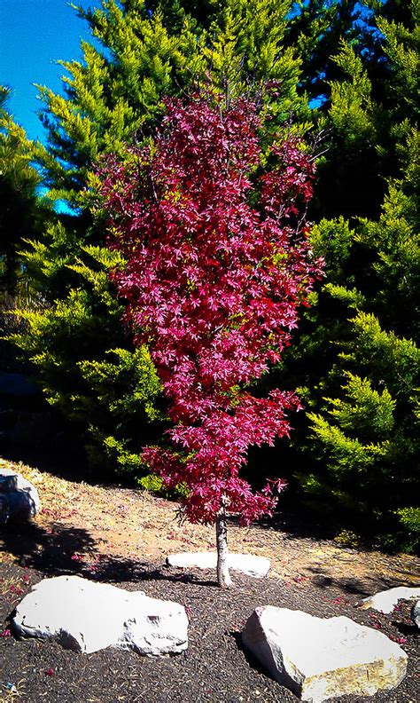 Twomblys Red Sentinel Japanese Maple   The Tree Center™