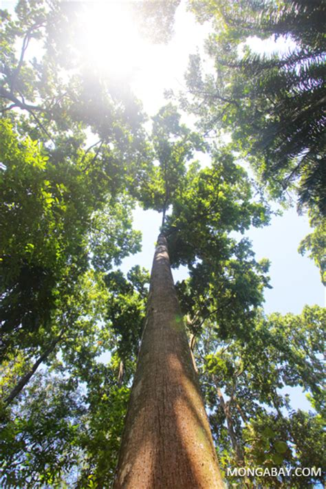 Tropical rainforest tree in Java