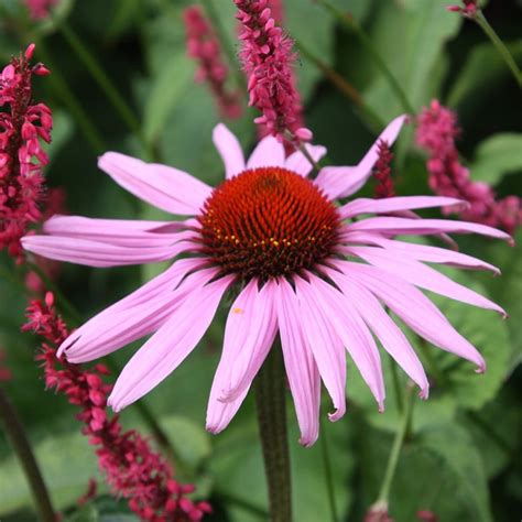 Persicaria and Echinacea plant combination