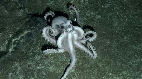 VONSHOLLYWOOD: Ghost Octopus