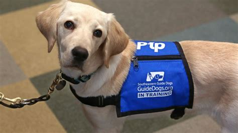 Meet Pip, the Southeastern Guide Dogs celebrity with 55